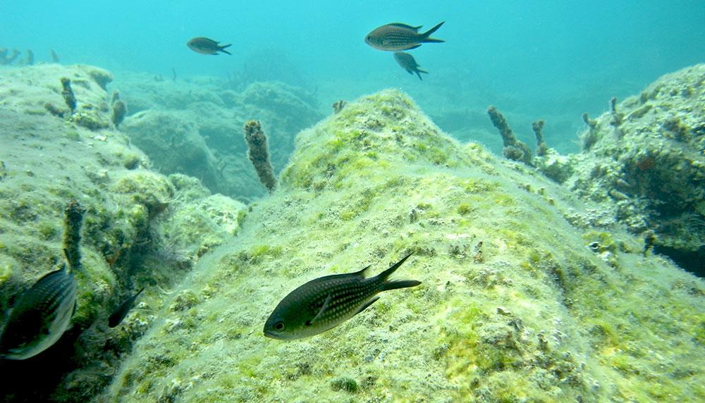 Mönchsfische